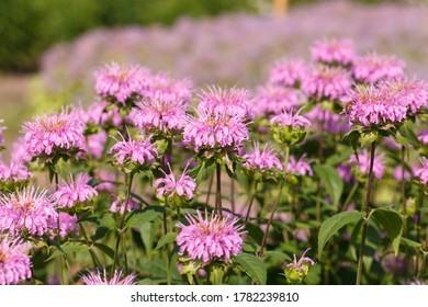Beautiful Pink flowers of monarda