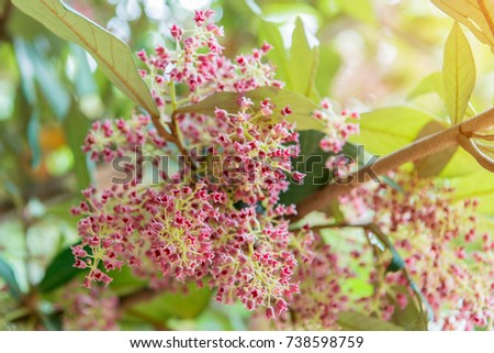 Beautiful pink flowers name vatica cinerea stock photo edit now beautiful pink flowers of the name vatica cinerea a perennial in the family anonaceae mightylinksfo