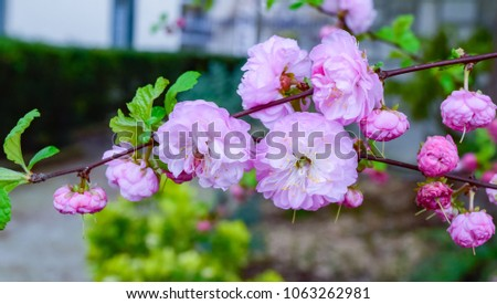 Beautiful Pink Flowers Spring Season Started Stock Photo Edit Now