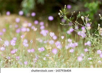 Beautiful pink flowers in the steppe on a sunny day, closeup. Selective focus. Beautiful nature scene with flowering plants in sun flare. Summer flowers. Beautiful meadow. Summer background