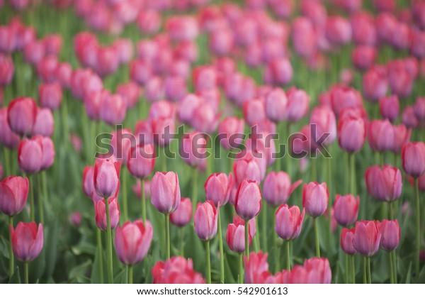 Beautiful pink fresh tulips. Nature spring background