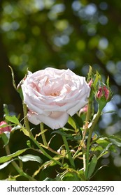 A beautiful Pink garden rose surrounded by greenery