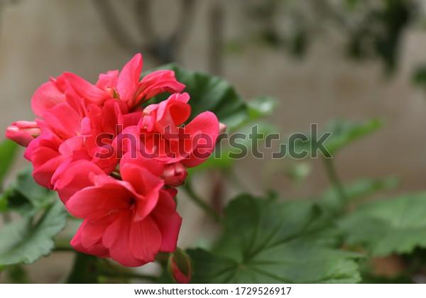 beautiful-pink-geranium-flowerspace-text