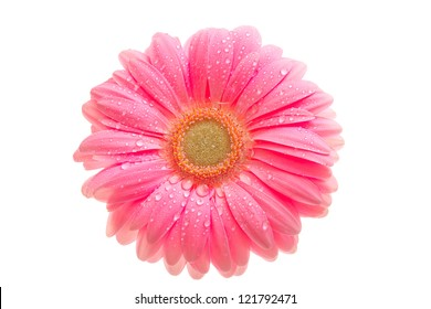beautiful pink gerbera with drops isolated on white