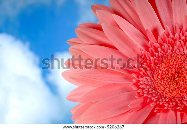 Beautiful pink gerbera flower against blue sky with white clouds