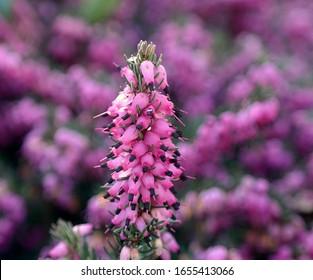 Beautiful pink green flower Darley Dale Heath (erica darleyensis)