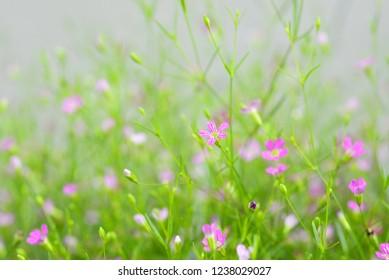 Beautiful Pink gypsophila flower. Baby's Breath Pink Creeping - Gypsophila repens rosea baby's breath