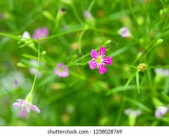 Beautiful Pink gypsophila flower. Closeup. Baby's Breath Pink Creeping - Gypsophila repens rosea baby's breath