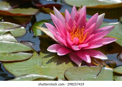 Beautiful pink hardy water lily seen in a local pond.