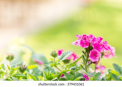 Beautiful pink hedge flower, Weeping lantana, lantana camara Linn in the garden