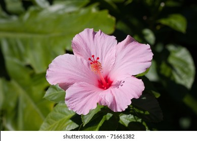 Beautiful Pink Hibiscus flower in full bloom