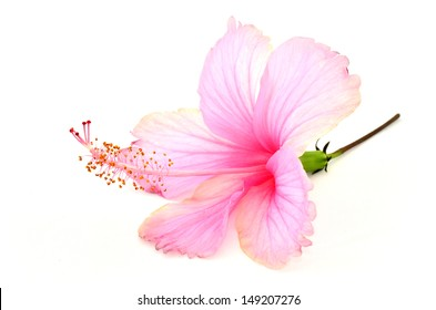 Beautiful Pink Hibiscus flower with great details on white background