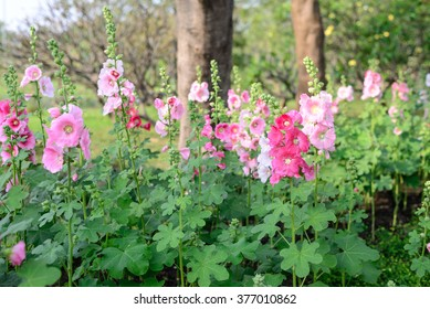 Beautiful pink hollyhock flowers in garden.