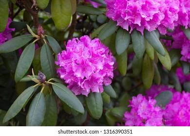 beautiful pink hortensia in garden in summertime (close-up detail shot)
