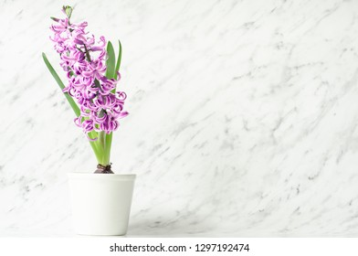 Beautiful pink hyacinth in flowerpot on marble background.