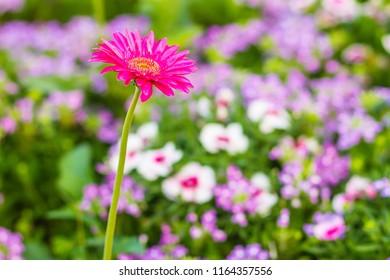 Beautiful pink hybrid Gerbera or Barberton daisy flowers (Gerbera jamesonii hybrida) on the flowerbed. Gerbera jamesonii, also known as Barberton daisy, Transvaal daisy, Barbertonse madeliefie.