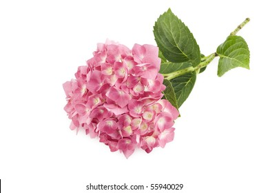 A beautiful pink Hydrangea bloom on a white background
