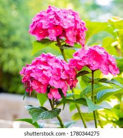 Beautiful Pink Hydrangea Flowers in a Summer Garden