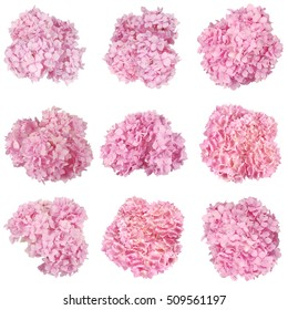 Beautiful Pink hydrangeas harvesting of flowers. Natural color. Isolated on white. Nine clipping path inside.