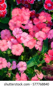 Beautiful Pink, Indian pink, China pink, or Rainbow pink Flowers inthe garden on the sunny day. Selective focus