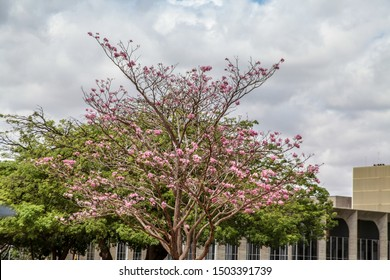 A beautiful pink ipe bush next to Itamaraty Palace on Brazil's Independence Day, September 7
