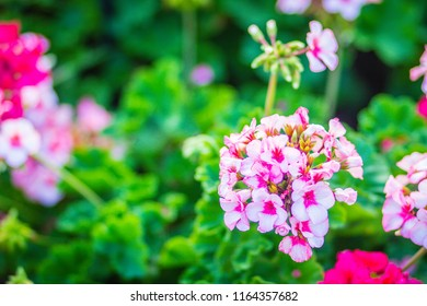 Beautiful pink ivy-leaf geranium flowers (Pelargonium peltatum) on flowerbed. Pelargonium peltatum, also known as ivy-leaf geranium and cascading geranium. It is native to southern Africa.