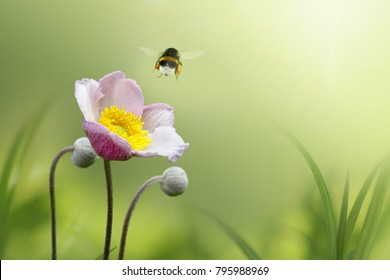 Beautiful pink japanese anemone flower on spring green field and flying bumblebee  in nature macro on soft blurry light background. Concept spring summer, elegant gentle artistic image, copy space.