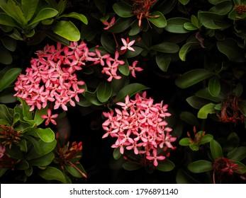 Beautiful pink jungle geranium spike flower. King Ixora blooming (Ixora chinensis).  Rubiaceae flower, Ixora flower, Ixora coccinea flower in the garden.
