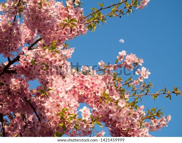 Beautiful pink Kawazu sakura cherry tree in full bloom in the middle of March near Sanjo bridge in Kyoto, Japan