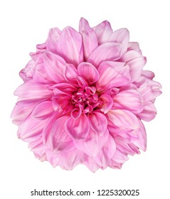 Beautiful pink 'Lavender Perfection' Dahlia flower isolated on white background
