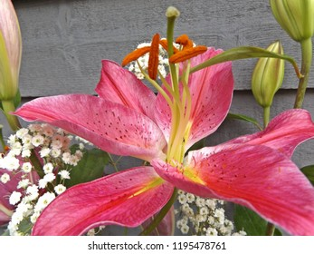 a beautiful pink lily in full bloom surrounded by pretty white gypsophilia.