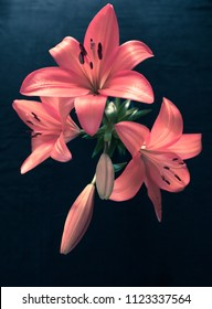 Beautiful pink lily on  dark background.
