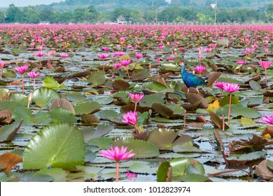 Beautiful pink lotus field at Tha Le Noi, RAMSAR Site, conservative area. Tha Le Noi is the most tourist attraction in Phatthalung, south of Thailand.