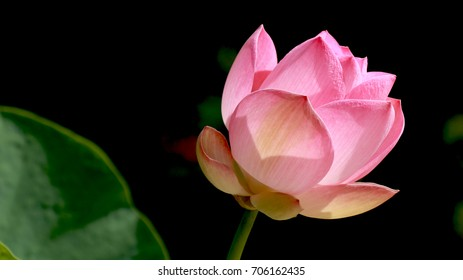 Lotus flower meaning in buddhism images stock photos vectors beautiful pink lotus flower is blooming on blur background mightylinksfo