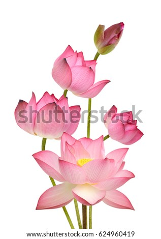 Beautiful Pink Lotus Flower Bouquet Isolated Stock Photo Edit Now