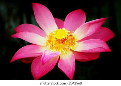 A beautiful pink lotus flower and leaf. Lotus is also a symbol of Buddhism.