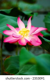 A beautiful pink lotus flower and leaves. Lotus is also a symbol of Buddhism.