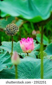 Beautiful pink lotus flower, seeds and leaves in pond. Lotus is also a symbol of Buddhism.