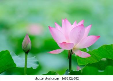 A beautiful pink lotus flower,and lotus flower bud beside it.