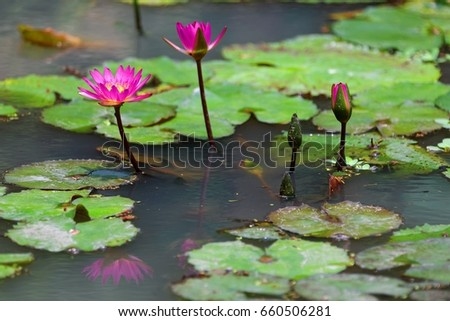 Beautiful pink lotus flowers blooming among stock photo edit now beautiful pink lotus flowers blooming among green leaves in a pond of muddy water lovely mightylinksfo
