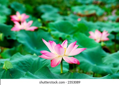 Beautiful pink lotus flowers, seeds and leaves in a pond. Lotus is also a symbol of Buddhism.