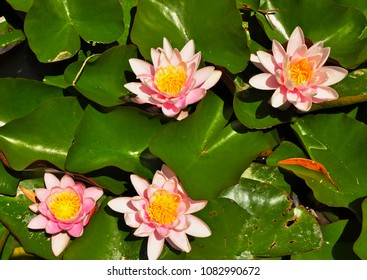 beautiful pink lotus flowers or waterlily in a pond.