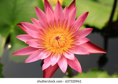 beautiful pink lotus with green leaf background