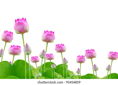 beautiful pink lotus on white background