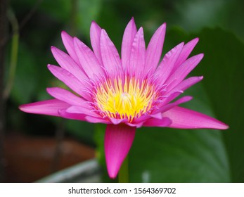 The beautiful pink lotus is in the pond