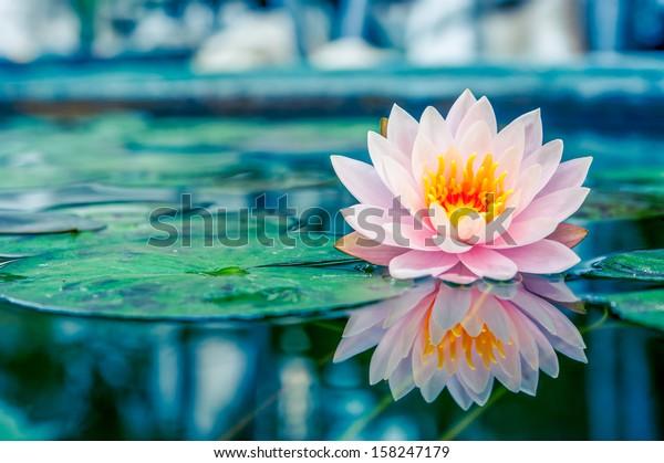 Красивый розовый лотос, вода растение с отражением в пруду