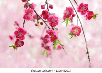 Beautiful pink magenta  cherry flowers over bokeh background