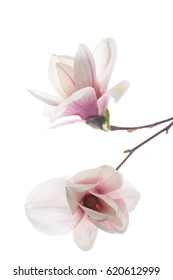 Beautiful pink magnolia flower on white background