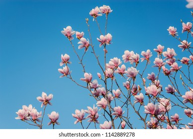 Beautiful pink magnolia flowers blooming in the spring with clear blue sky background