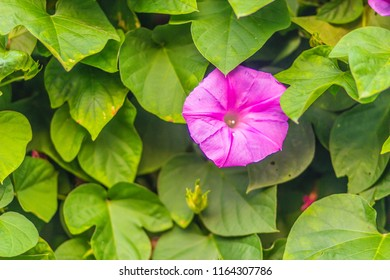 Beautiful pink morning glory flower (Ipomoea carnea) on tree. Ipomoea carnea, the pink morning glory, is a species of morning glory. This flowering plant has heart-shaped leaves that are a rich green.